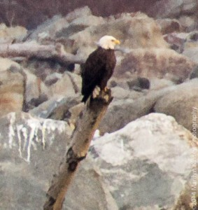 Bald Eagle Photo Shoot-15