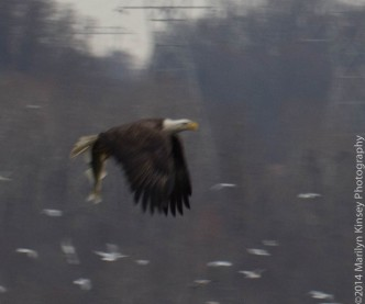 Bald Eagle Photo Shoot-17