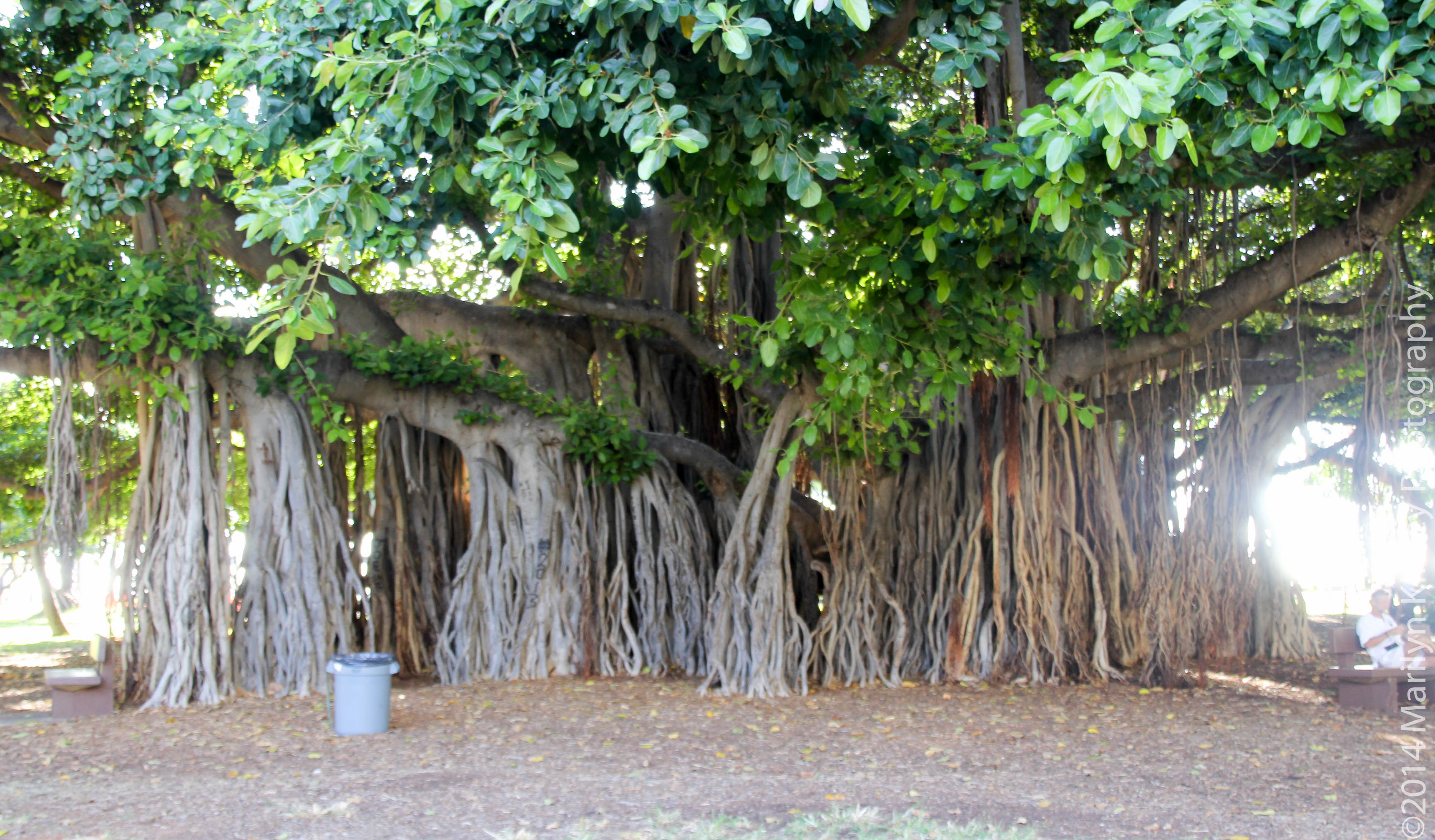banyan tree wiki