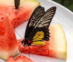 Butterflies-34