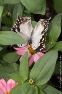 Butterflies-42