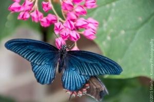 Butterflies-50