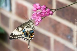 Butterflies-51
