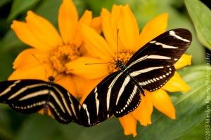 Butterflies-55