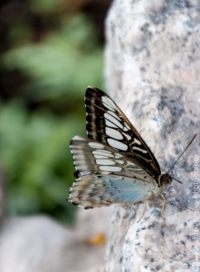 Butterflies-58